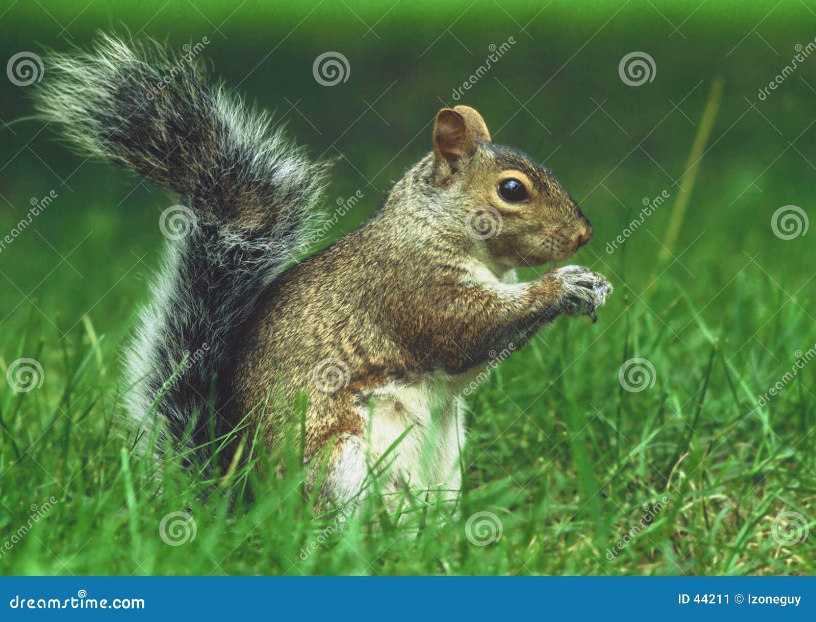 Download Eichhörnchen stockbild. Bild von nagetier, geschöpf, playful - 44211