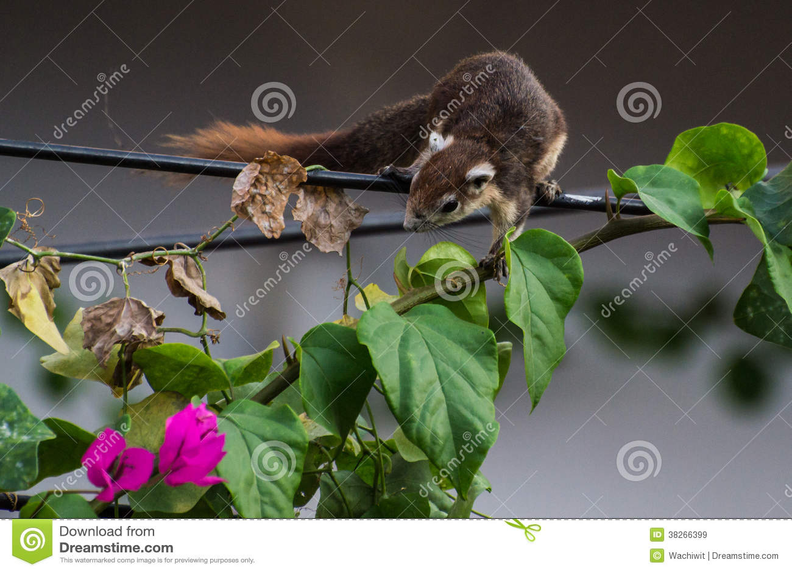 Eichhörnchen Auf Stromdraht Stockbild - Bild von thailand, draht ...
