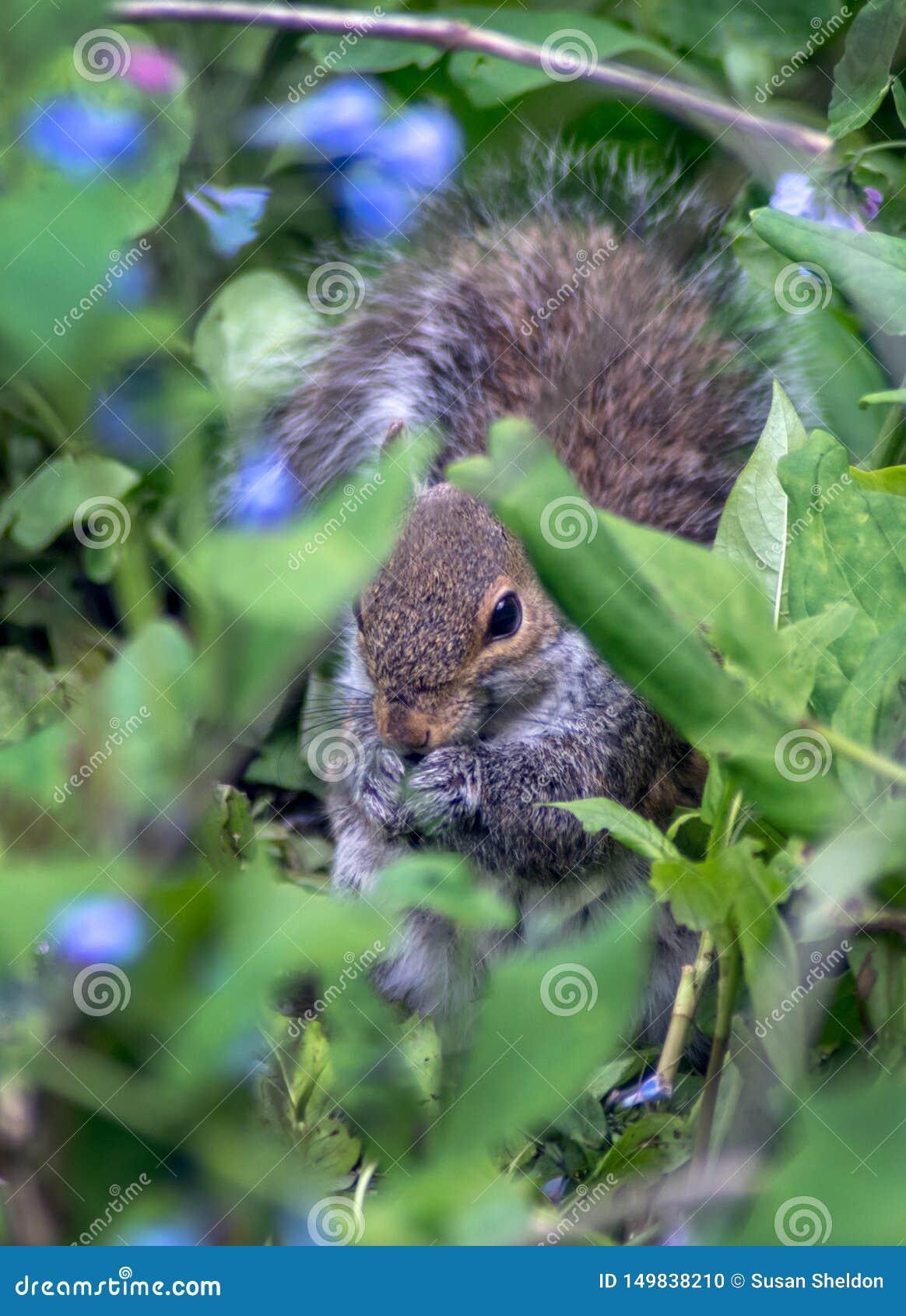 Eichhörnchen, das in den Glockenblumen sich versteckt