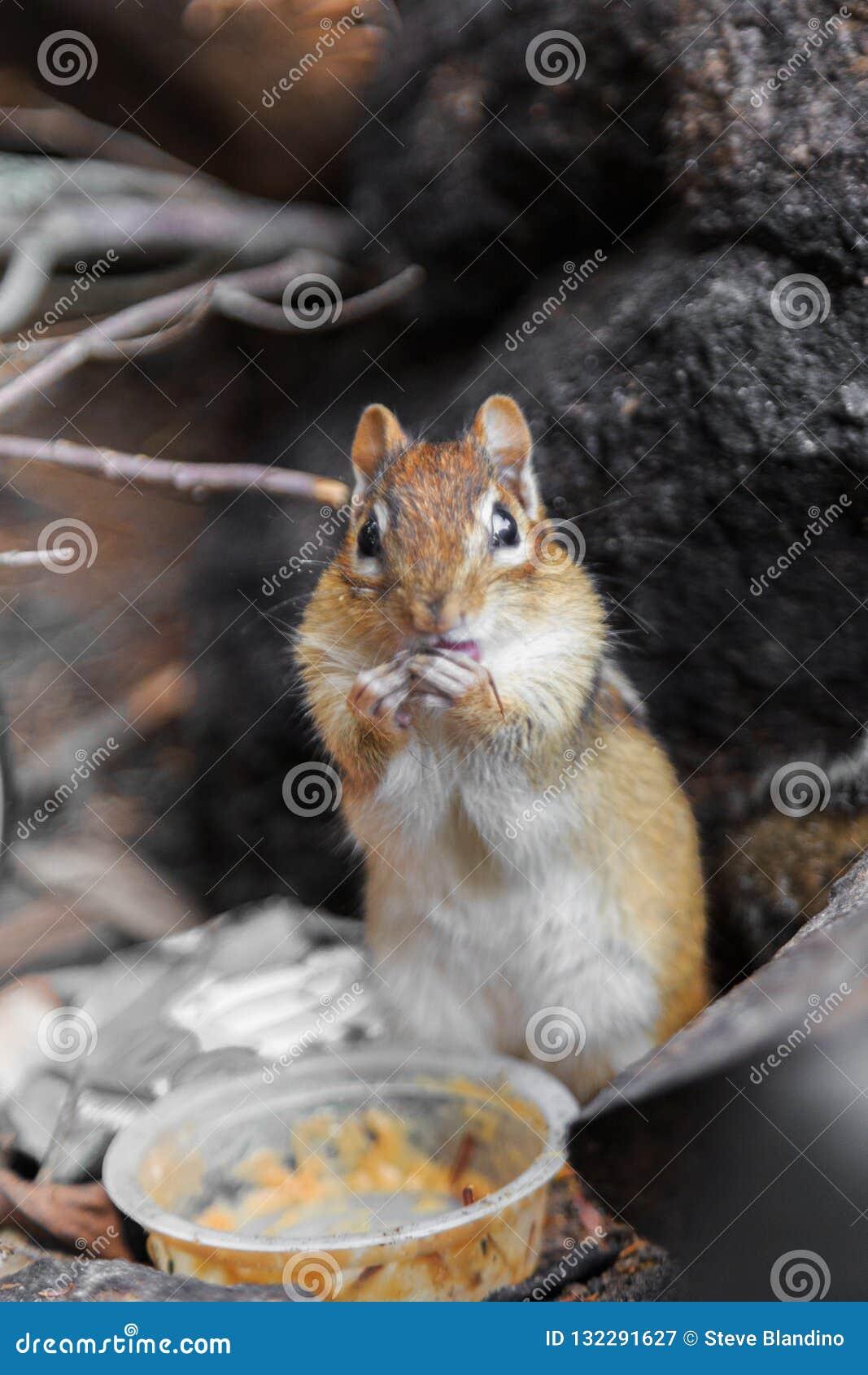 Eichhörnchen, das Erdnussbutter isst