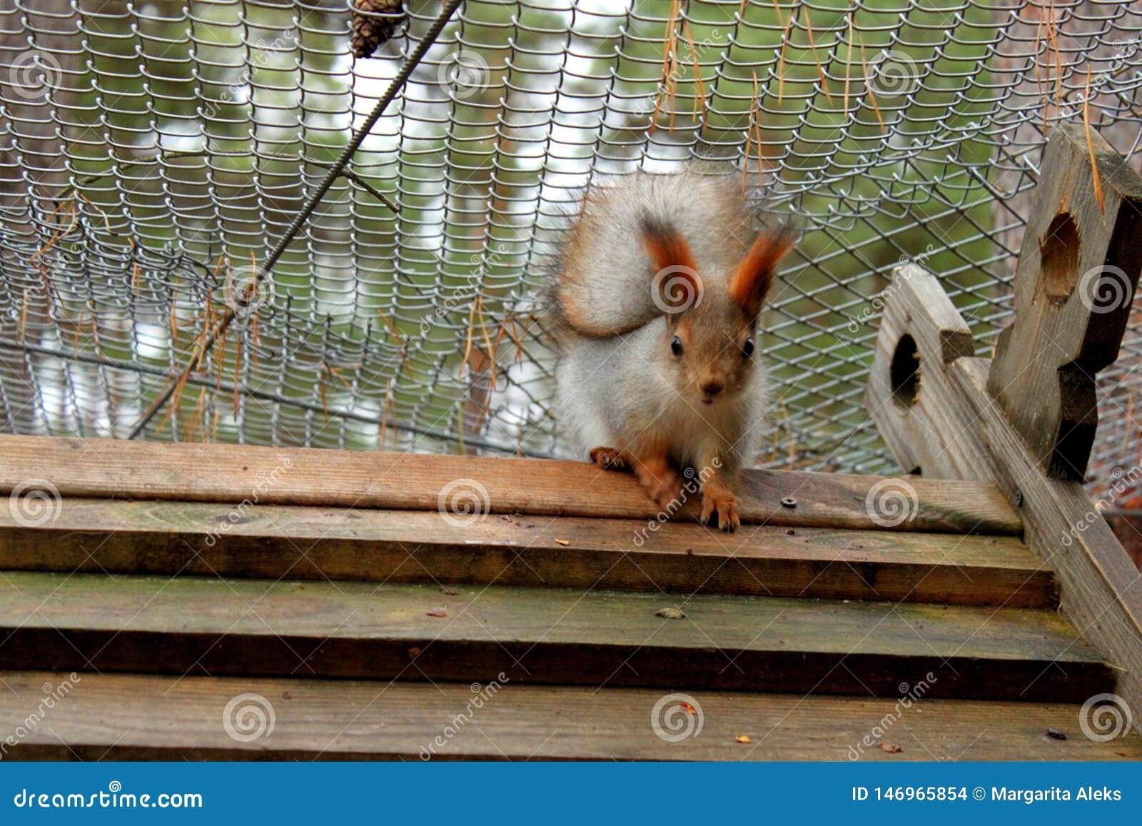 Eichhörnchen, das im Käfig sitzt