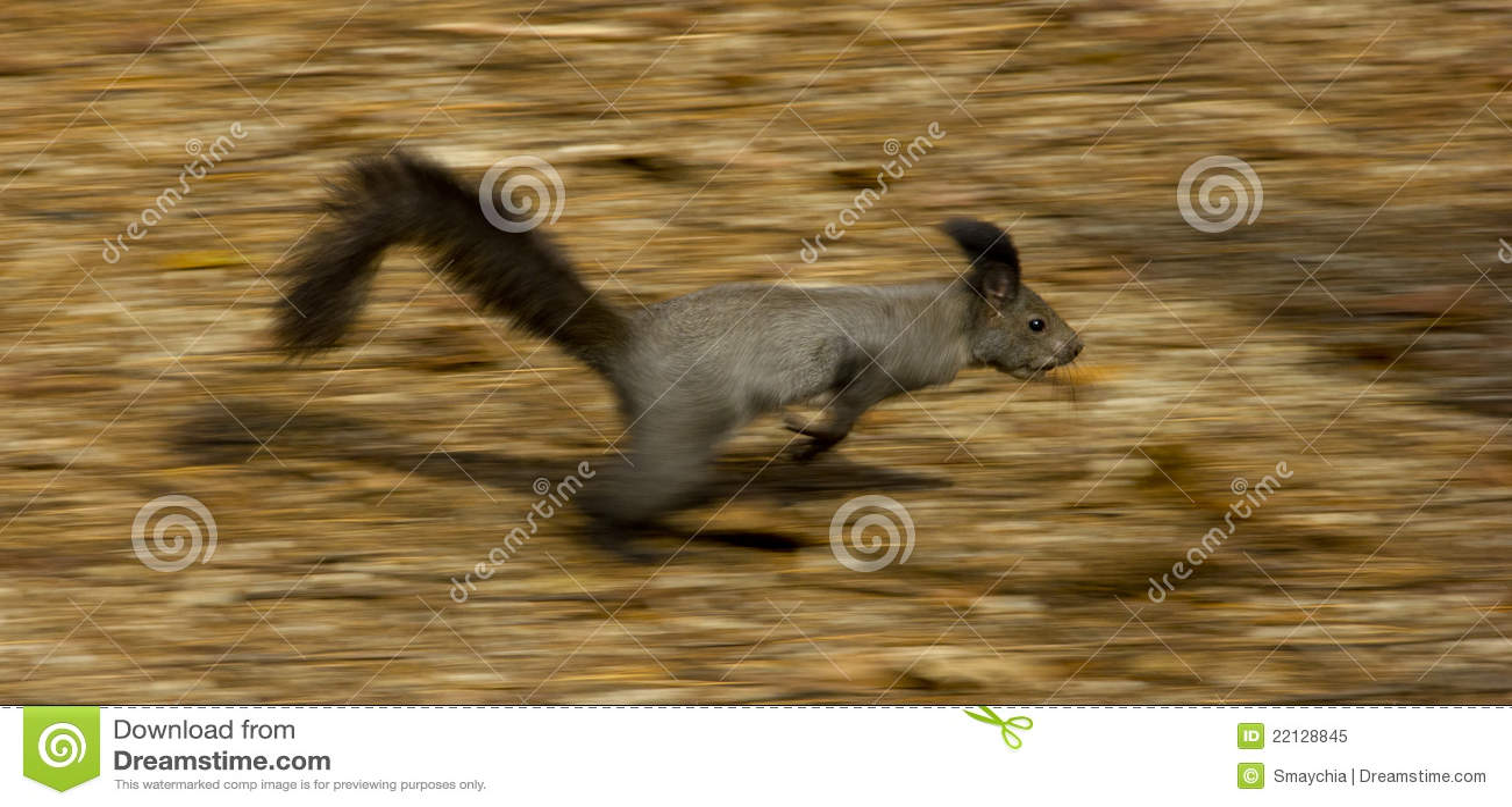Eichhörnchen, Das Schnell Läuft Stockbild - Bild von eichhörnchen ...