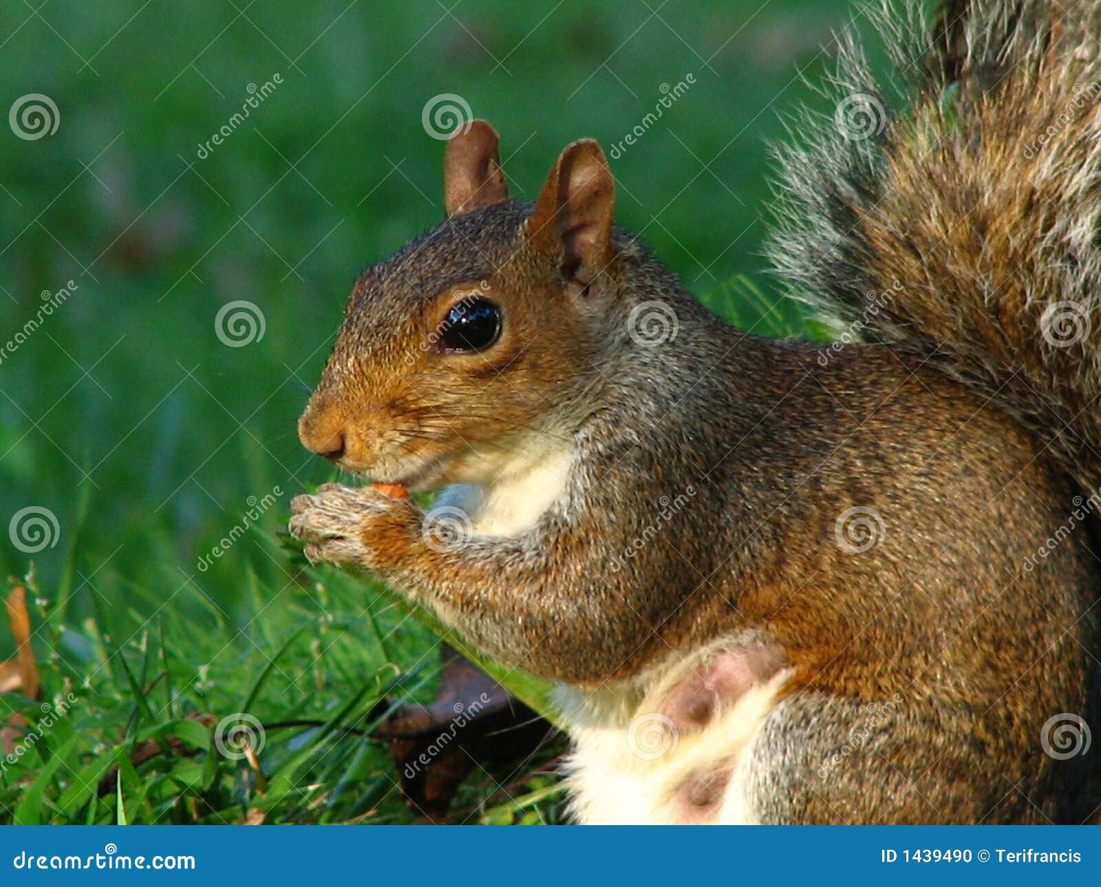 Eichhörnchen - Funktions-Mamma