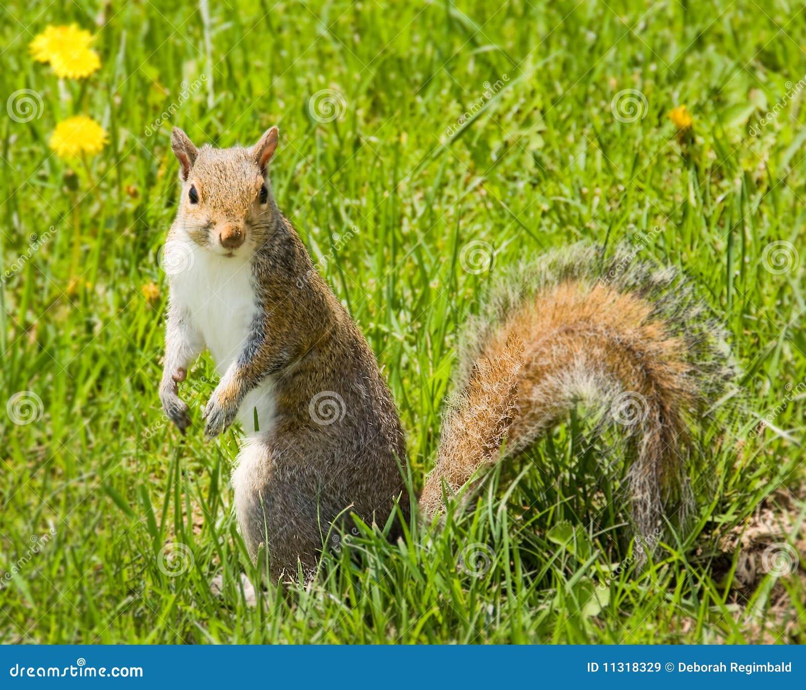 Eichhörnchen im Gras