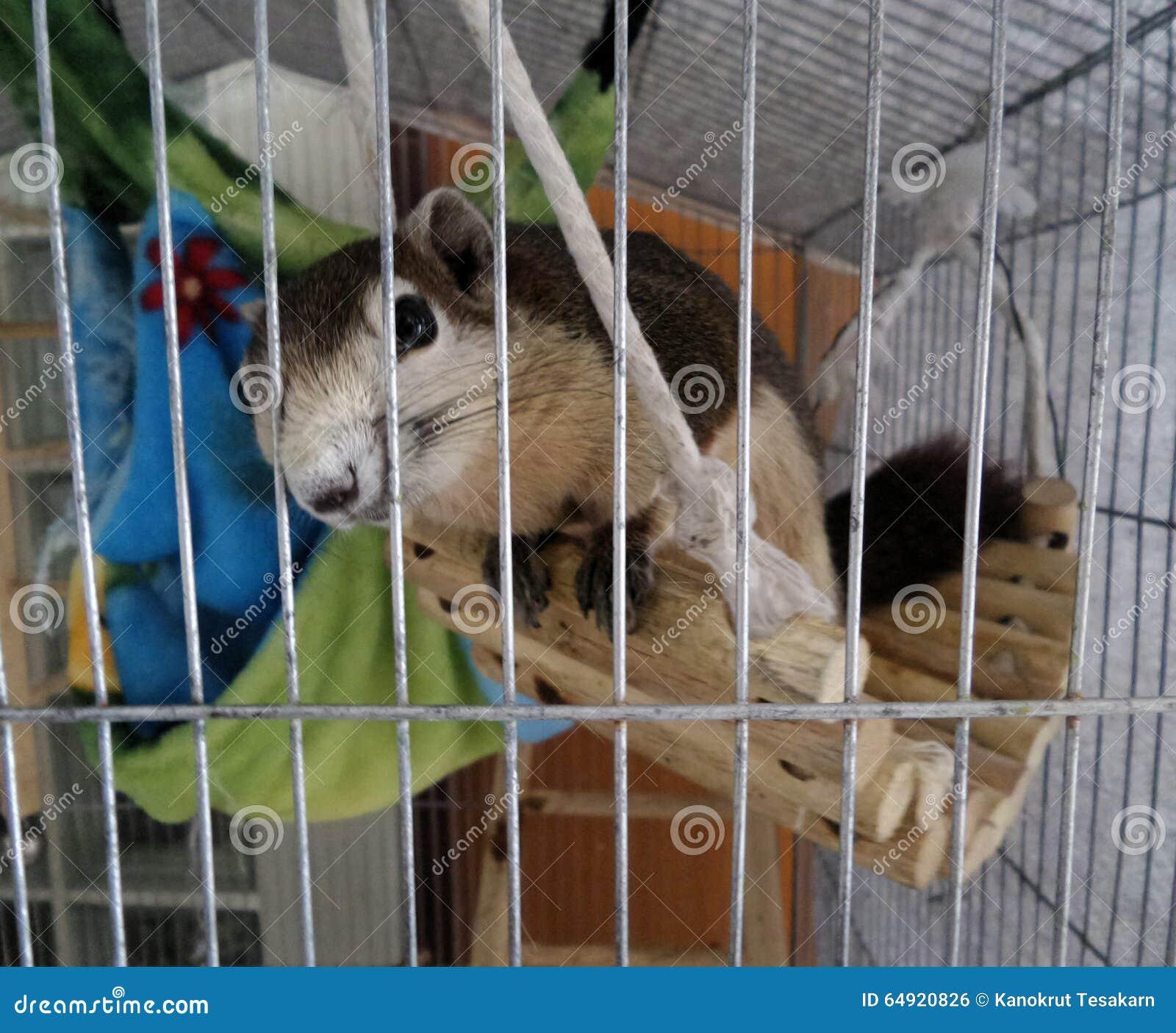 Eichhörnchen im Käfig stockfoto. Bild von draht, fauna - 64920826