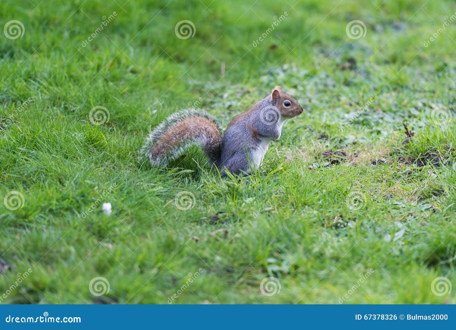 Fußboden Graß Essen ~ Eichhörnchen im parkboden stockfoto. bild von pelz essen 67378326