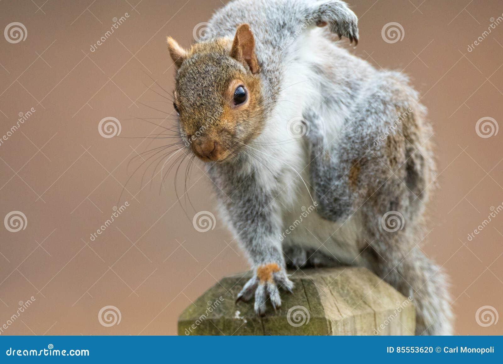 Eichhörnchen-Kratzer