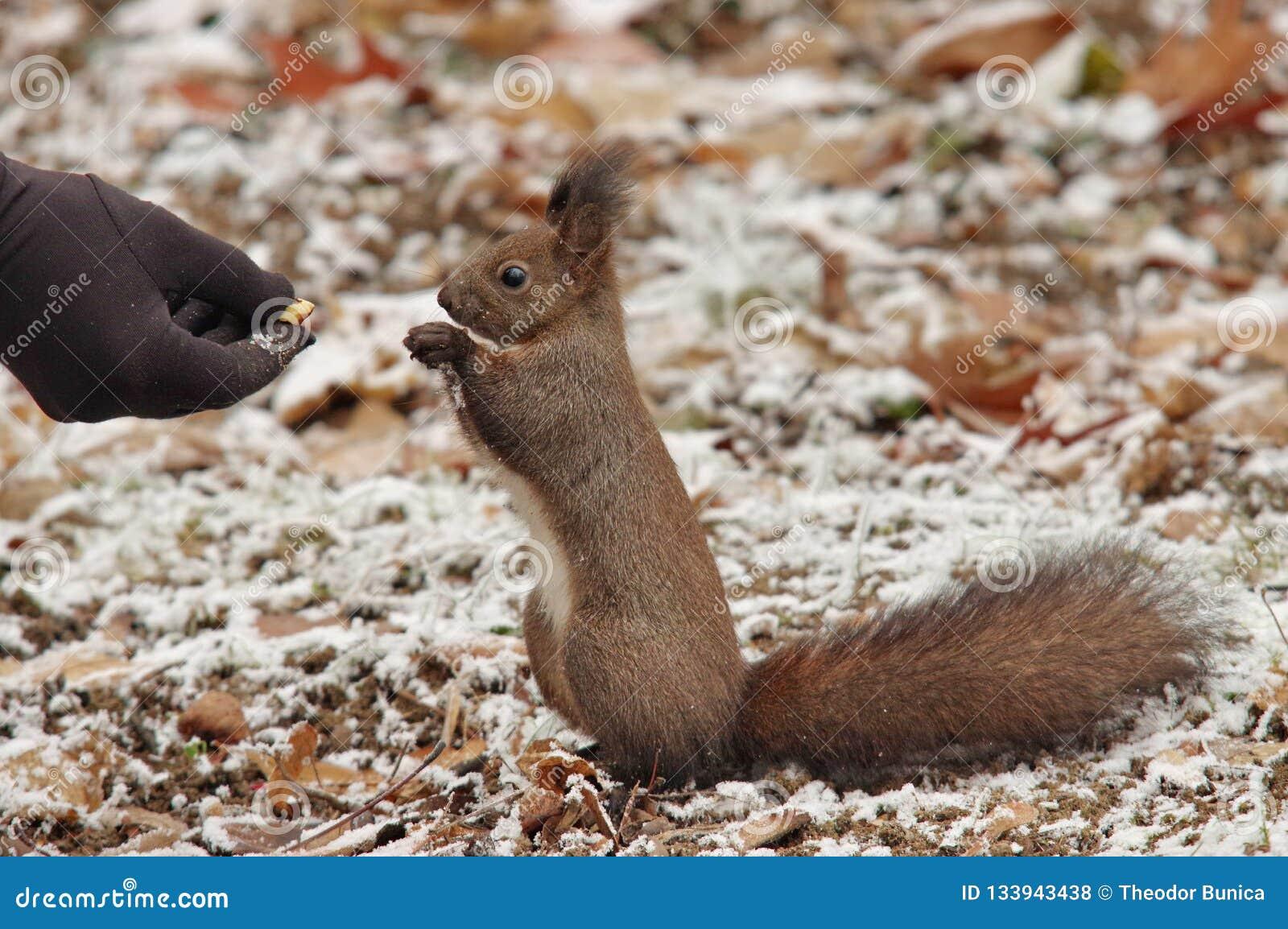 Eichhörnchen Sciurus gemein im Park, auf Winter