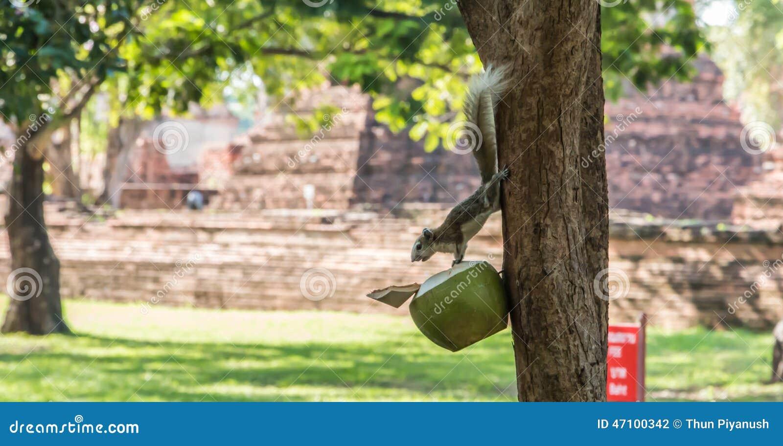 Eichhörnchen, welche die Kokosnuss essen