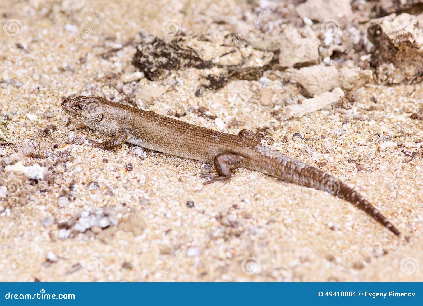 Download Eidechse Auf Dem Strand In West-Australien Stockfoto - Bild von bereich, wüste: 49410084