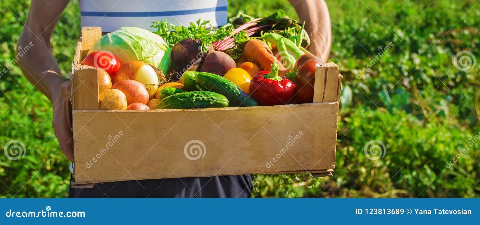 Eigengemaakte groenten in de handen van mensen Oogst Selectieve nadruk