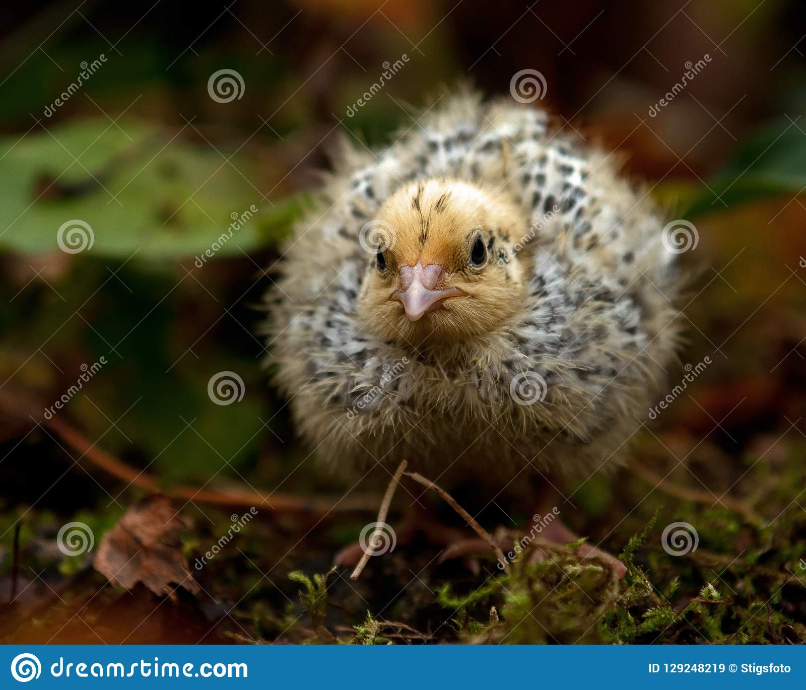 Eight days old quail, Coturnix japonica.....photographed in nature