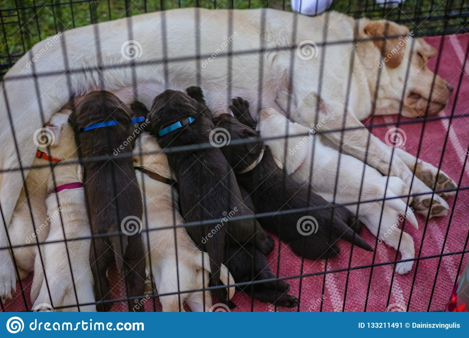 Eight small labrador puppies feed on their mother