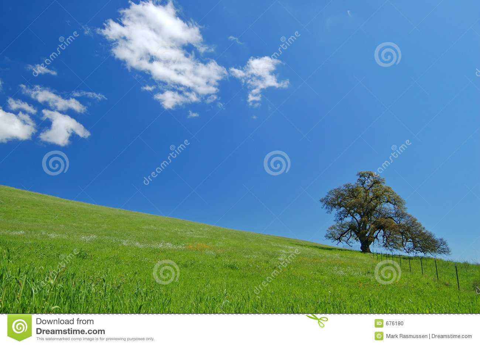 Eiken boom in de lente