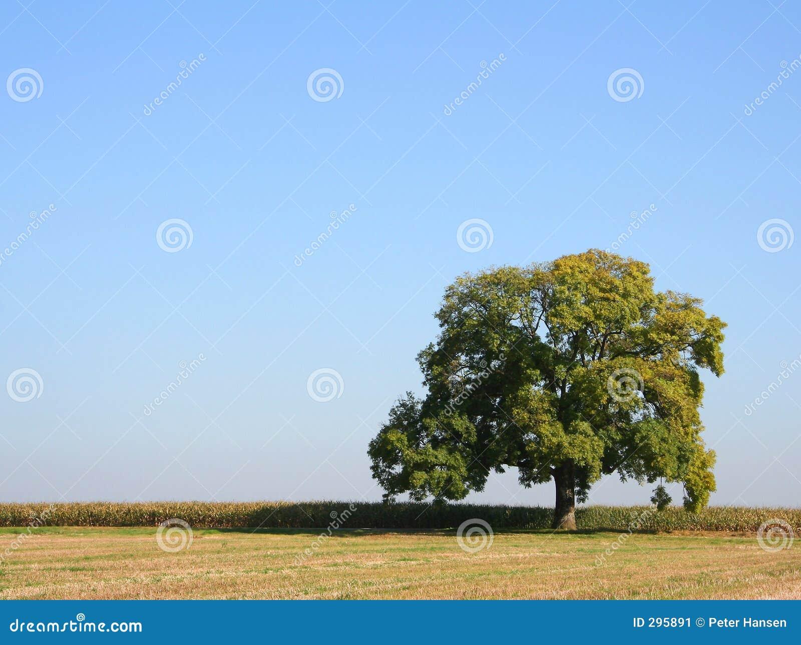 Eiken boom in de zomer