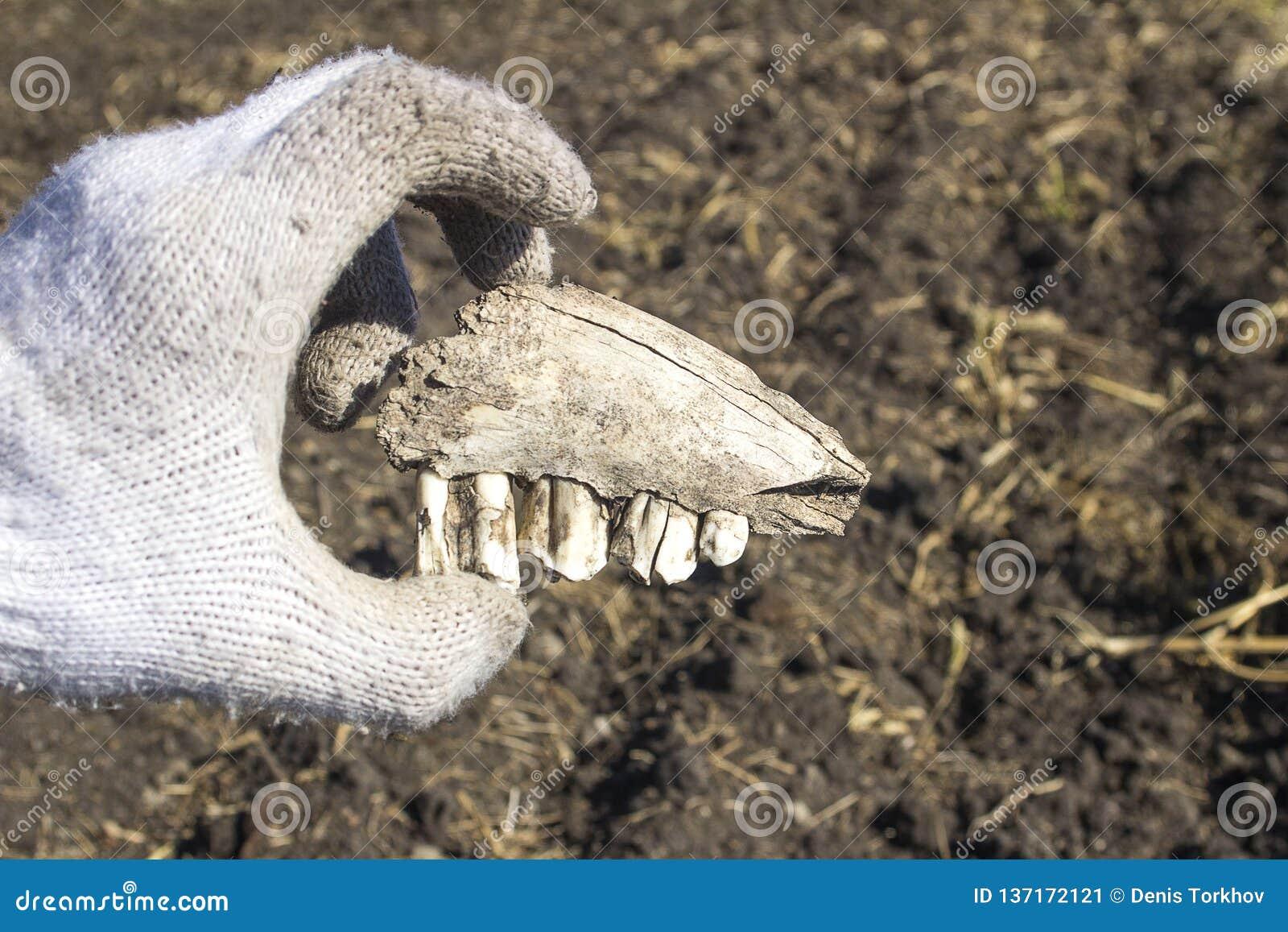 Ein alter Zahn gefunden während der Aushöhlungen mit einem Metalldetektor
