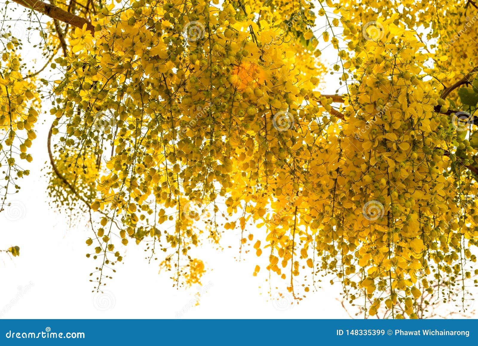 Ein Bündel der gelben goldenen Duschblume mit dem Sonnenlicht, das durch gegen hellen weißen Hintergrund glänzt