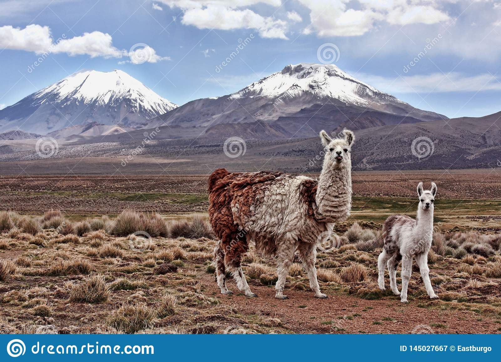 Ein bably Lama und eine Mutter auf dem Bolivianer Altiplano