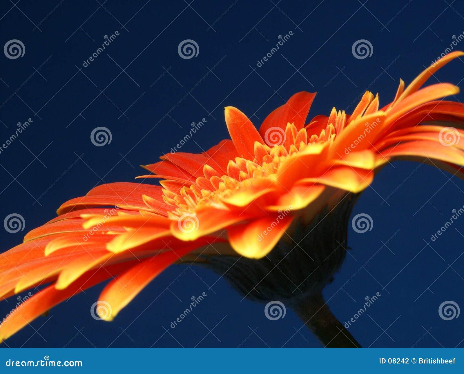 Ein brennendes Gerber (oder Gerbera)