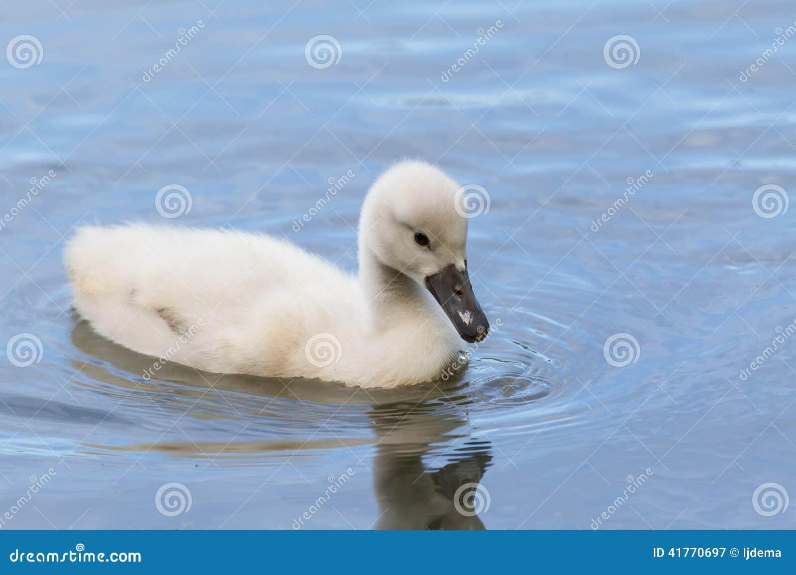 Ein Cygnet schwimmt