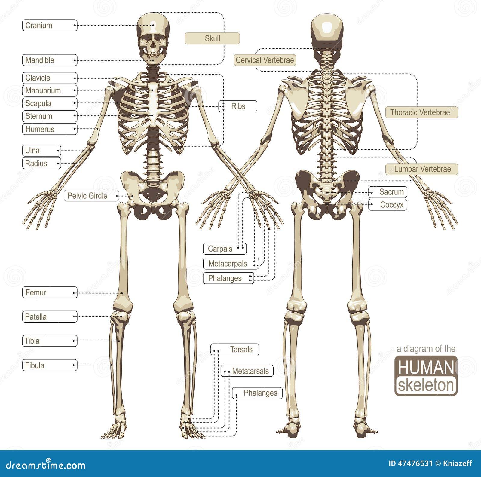 Nett Anatomie Und Physiologie Des Skeletts Fotos - Menschliche ...