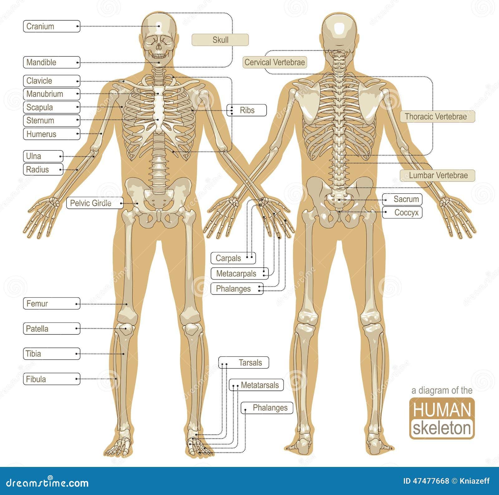 Großartig Diagramm Des Skeletts Bilder - Menschliche Anatomie Bilder ...