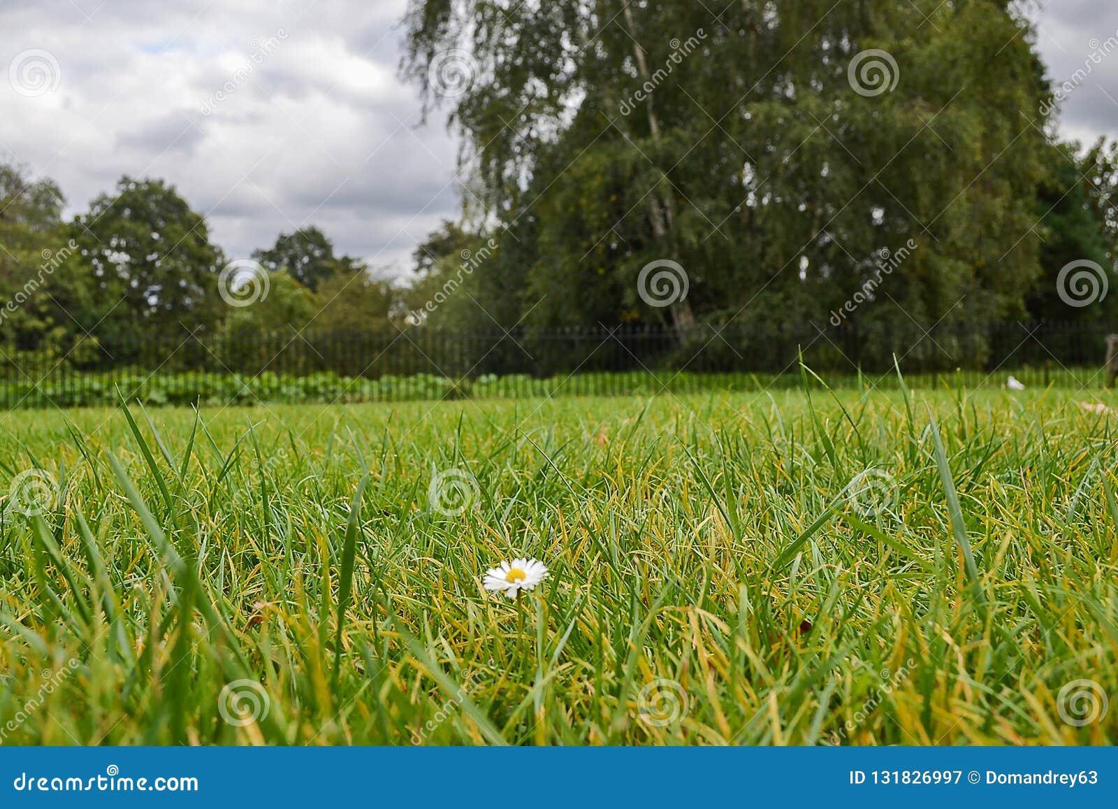 Ein einsam wenig Kamille auf einem Grasrasen