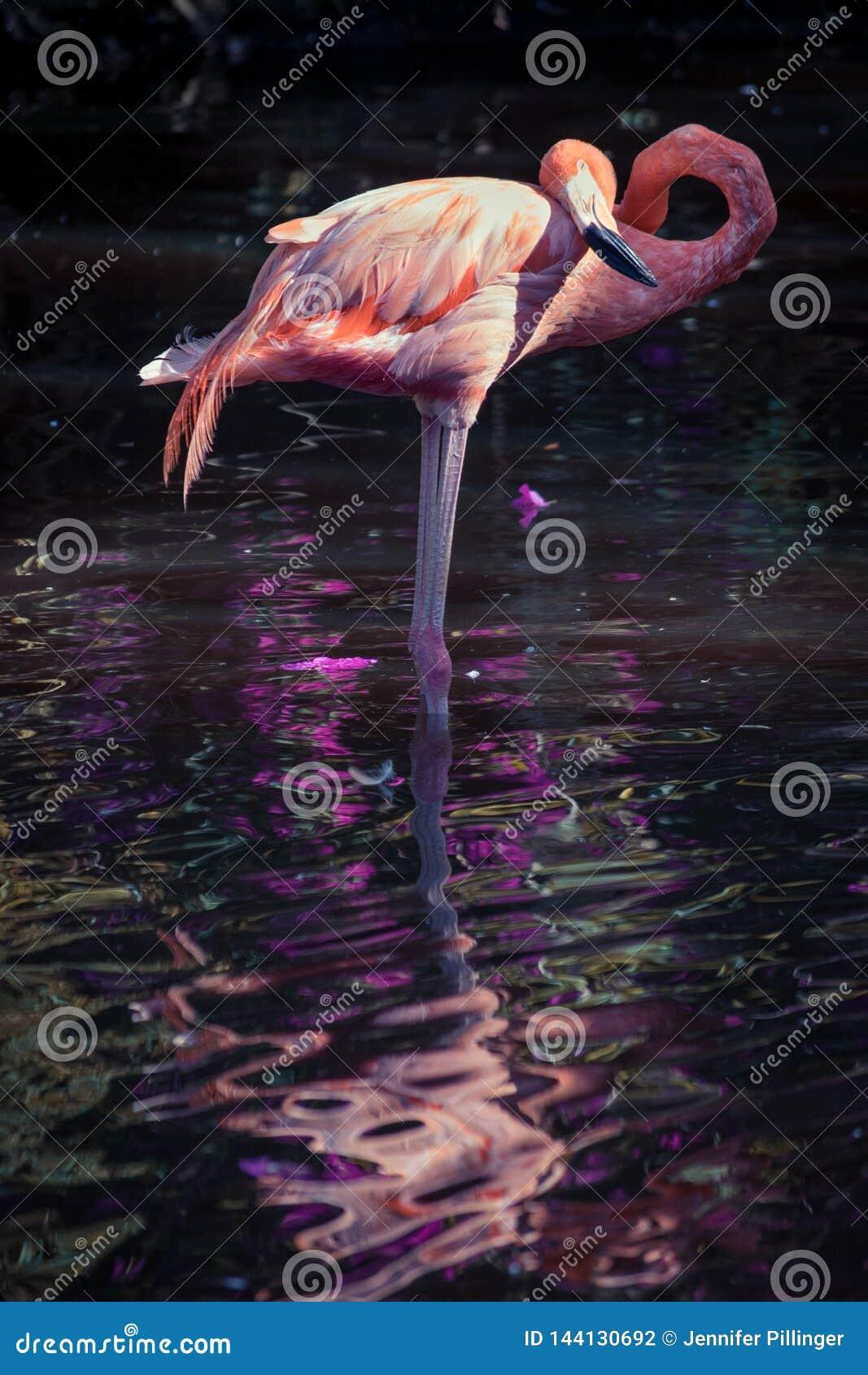 Ein Flamingo Phoenicopterus-roseus, das in einem Pool steht und, geleuchtet gegen einen dunklen Hintergrund und herein sich refle