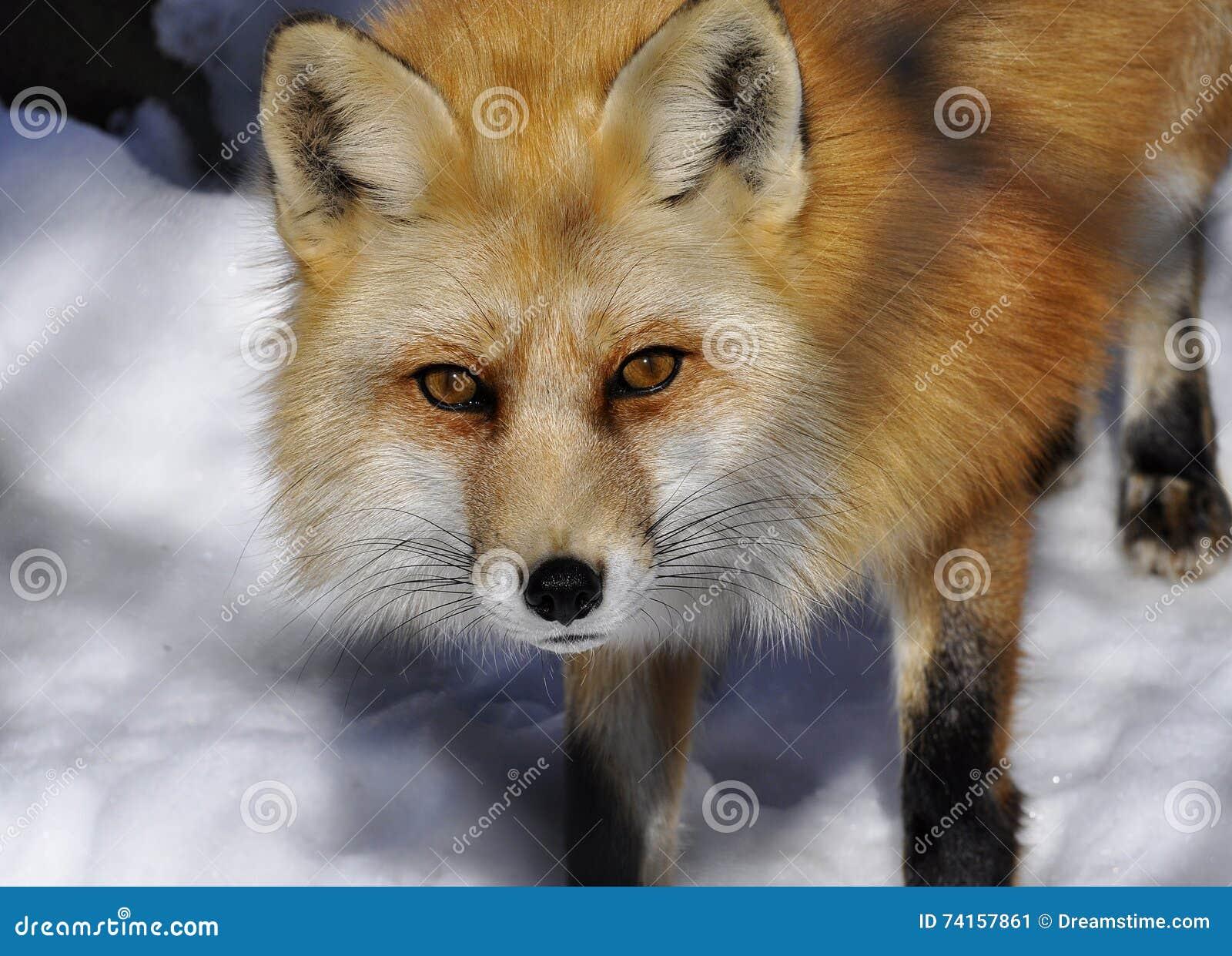 Ein Fuchs Im Winter Stockbild Bild Von Fuchs Orange 74157861