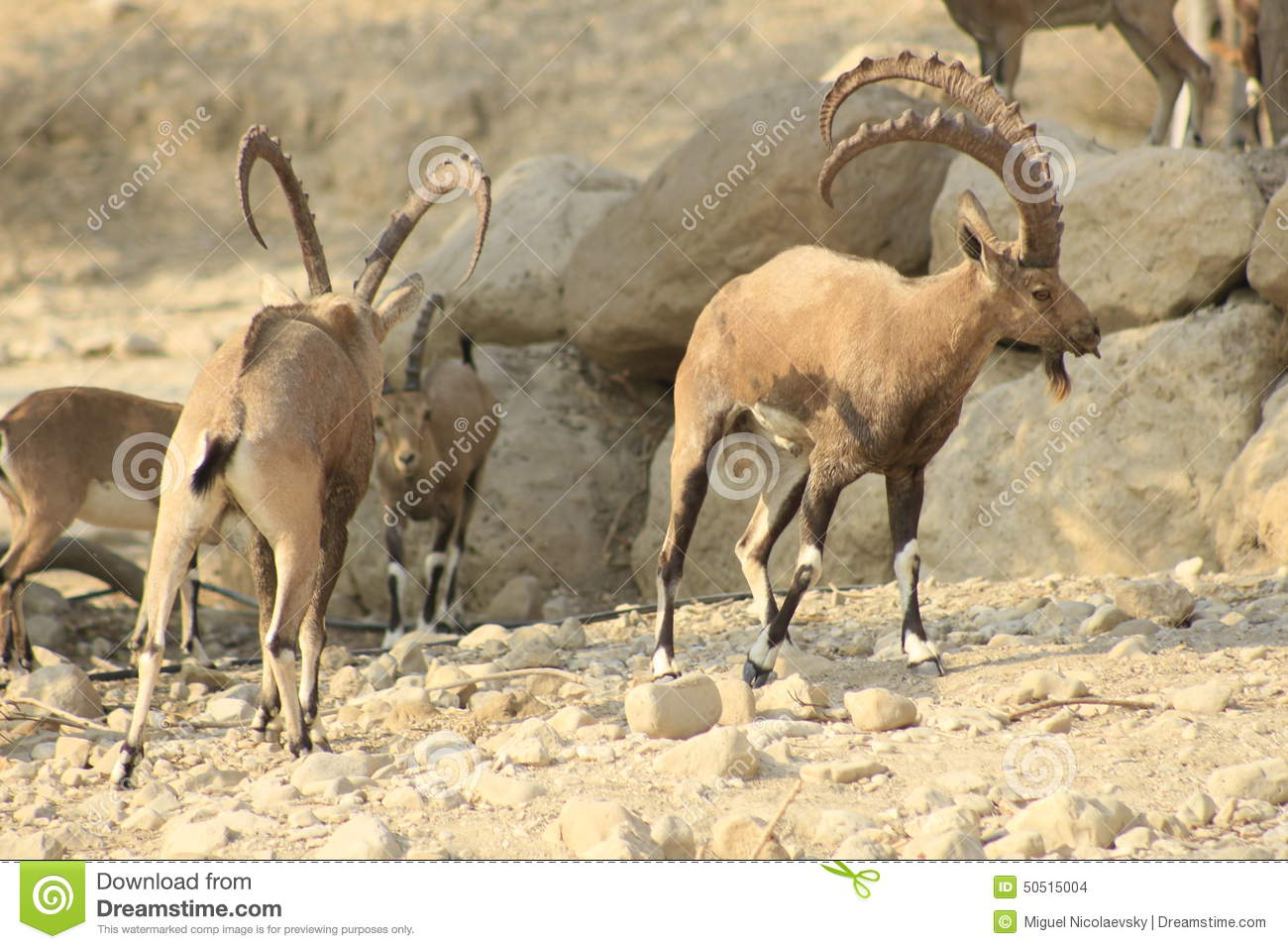 Ein Gedi wild Ibex in the Desert of Judea, Holy Land
