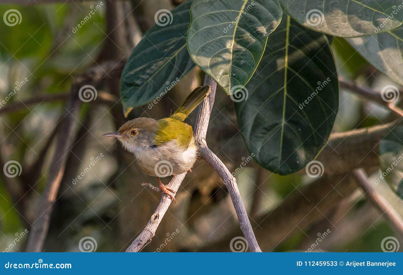 Ein gemeiner Schneidervogel, der auf Baumast sitzt