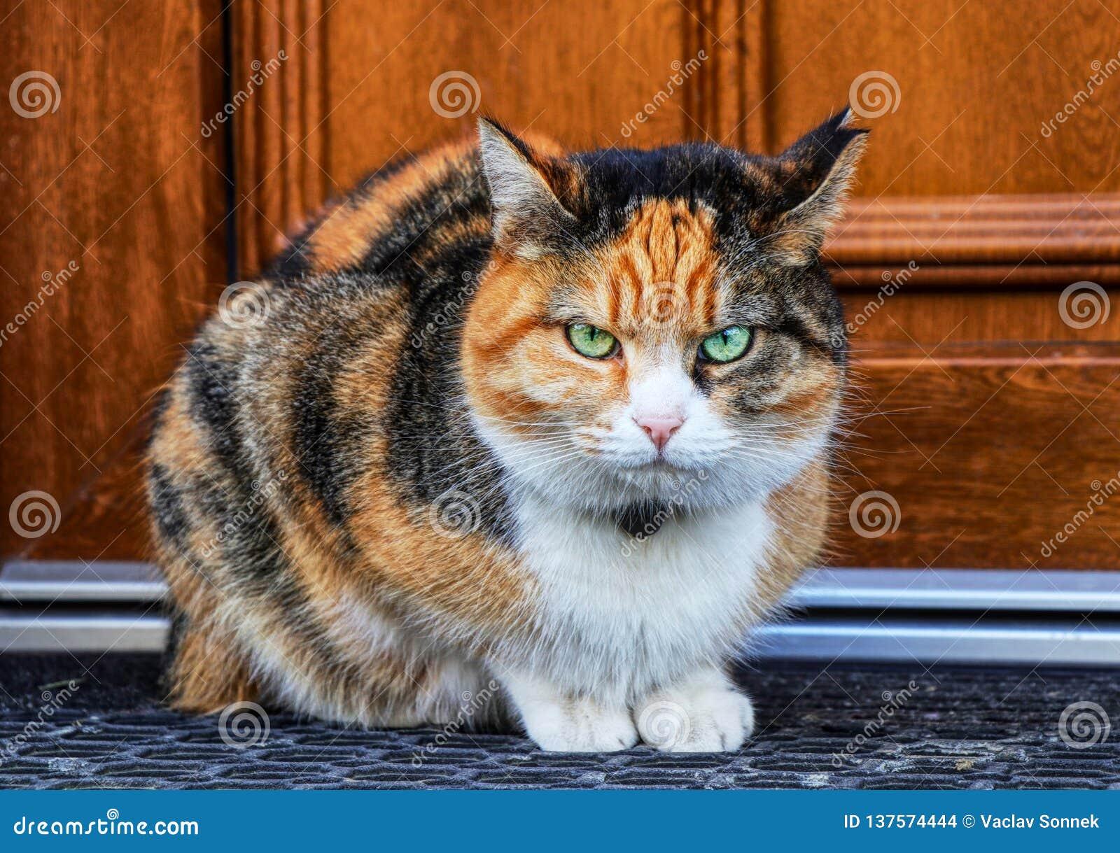 Ein gestörter Hauskatzeblick auf Kamera Ein Kätzchen, das auf Fußmatte vor Haupttür sitzt Berühren Sie sie nie Grüne Augen