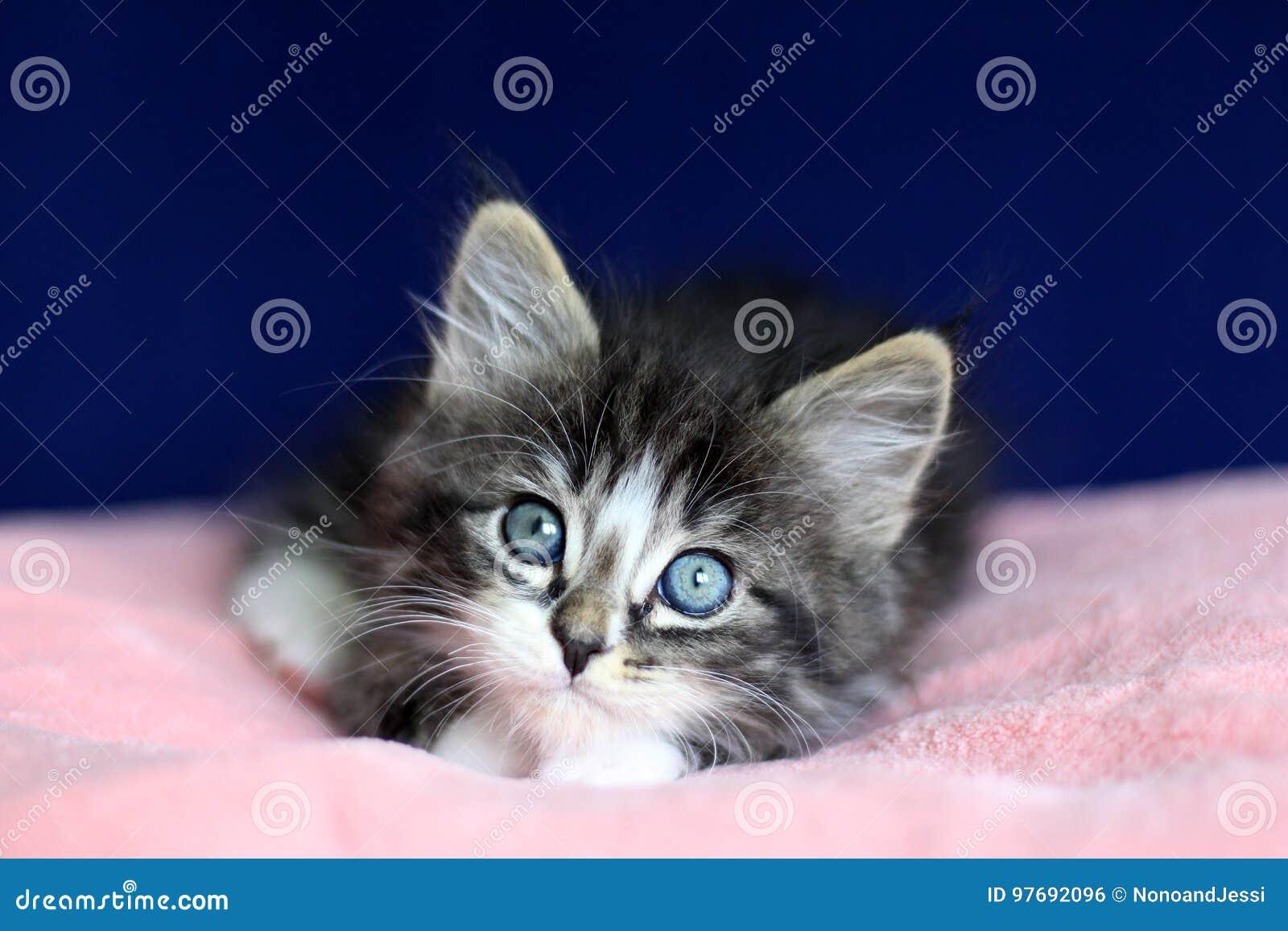 Ein graues Schwarzweiss der kleinen norwegischen Kätzchengetigerten katze in Lügenposition mit Augen zu hohem auf rosa Kissen und
