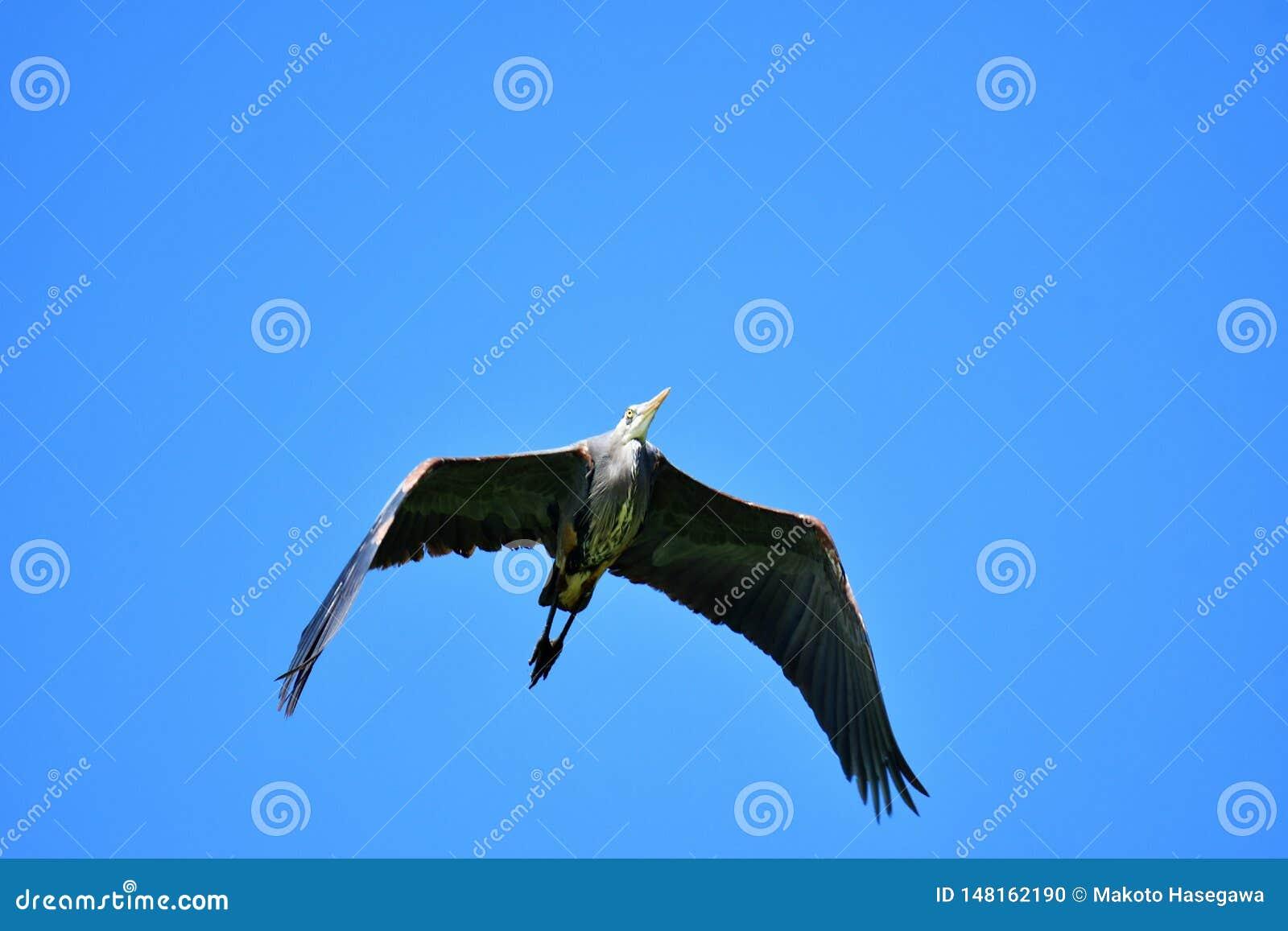 Ein Graureiher fliegt oben, seine Fl?gel verbreitete heraus