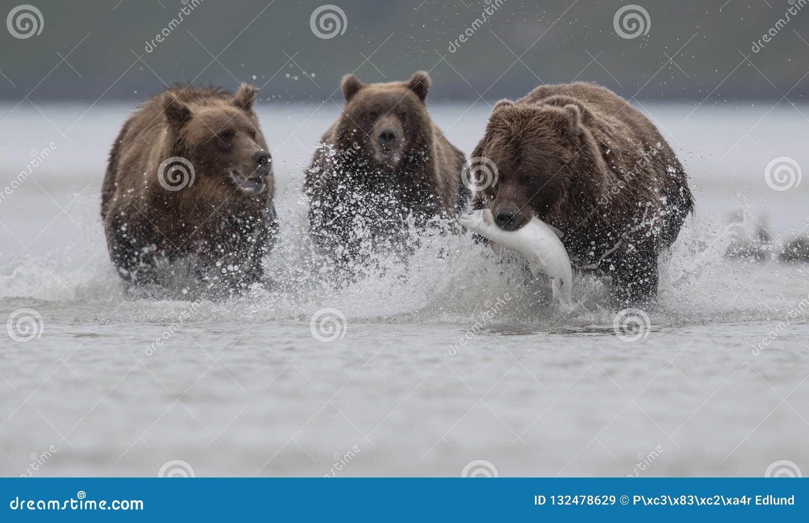 Ein Grizzlybär, der einen Salomon, ausgeübt von zwei Grizzlybären, in Katmai trägt