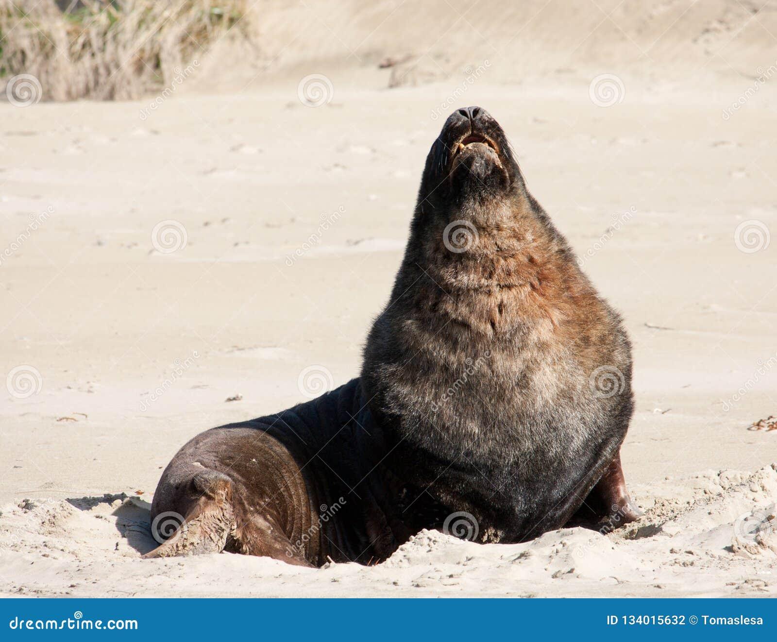 Ein großer Neuseeländischer Seelöwe, der auf einem Strand an Surat-Bucht im Catlins in der Südinsel in Neuseeland ein Sonnenbad n