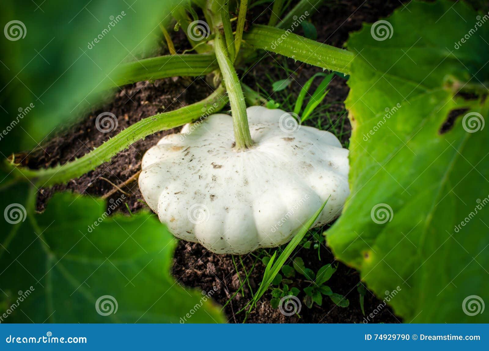 Ein großer pattypan Kürbis, der im Garten wächst