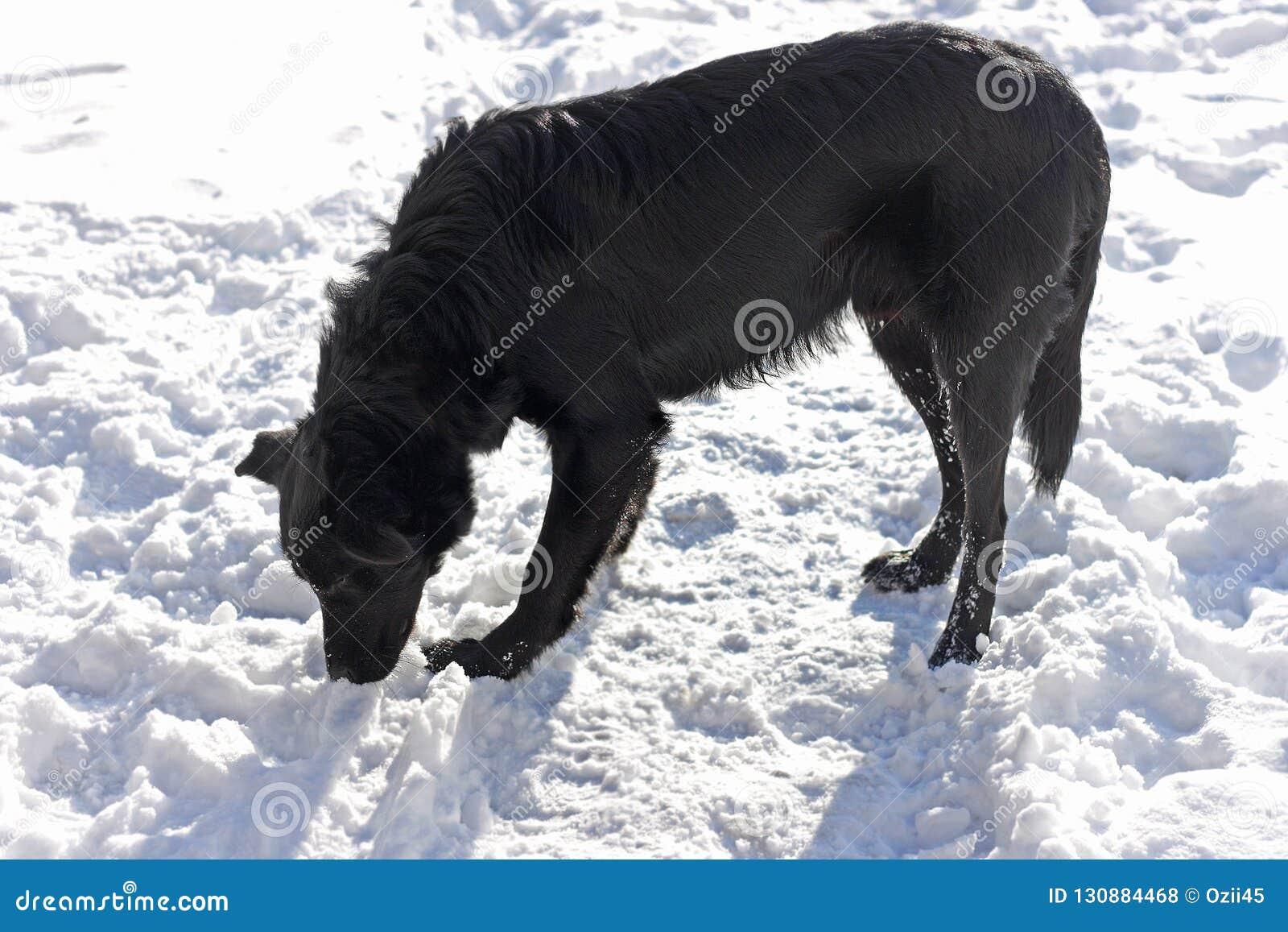 Ein großer schwarzer Hund steht mit seinem Kopf, der im weißen Schnee gebeugt wird
