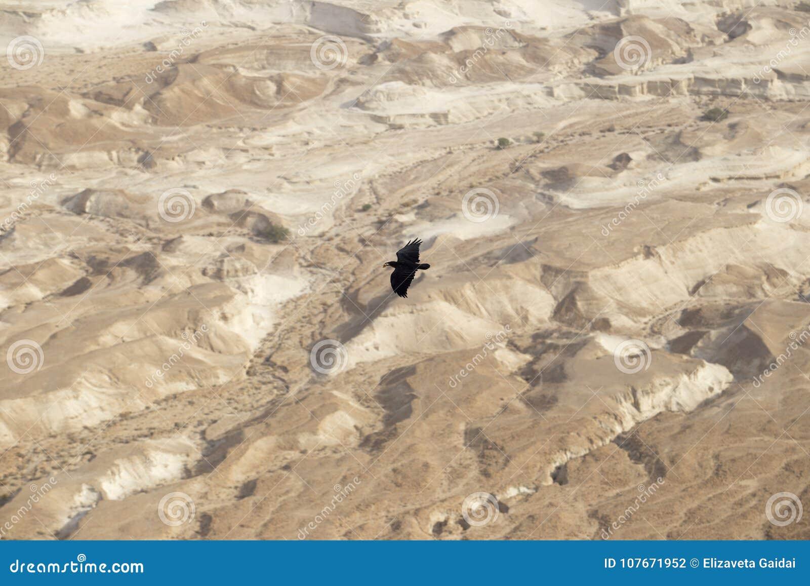 Ein großer schwarzer Rabe, der auf einer ungeheuren Höhe über dem s schwebt