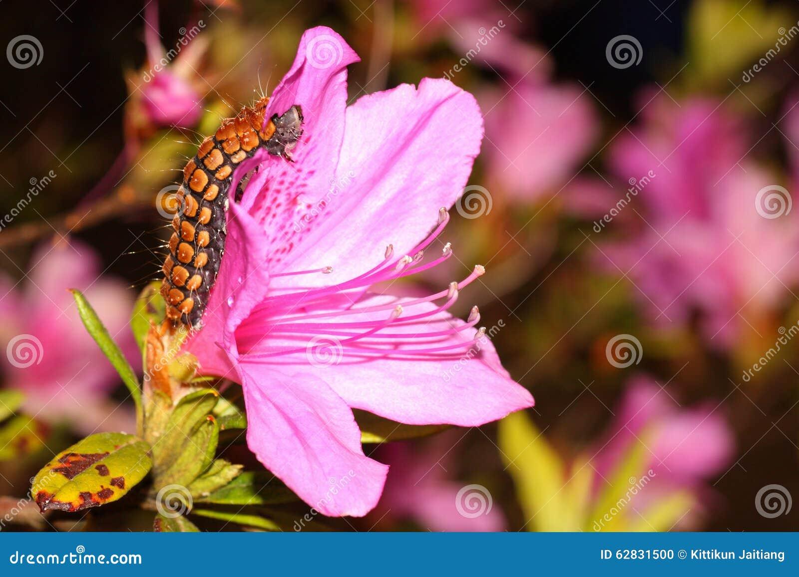 Ein großer Wurm auf der rosa Blume