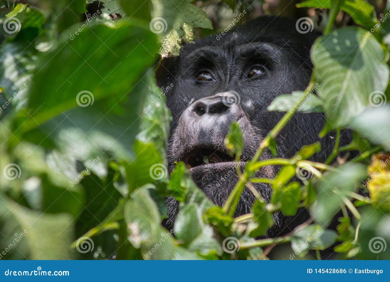 Ein himmlischer Gorilla im impenatrable forrest von Uganda