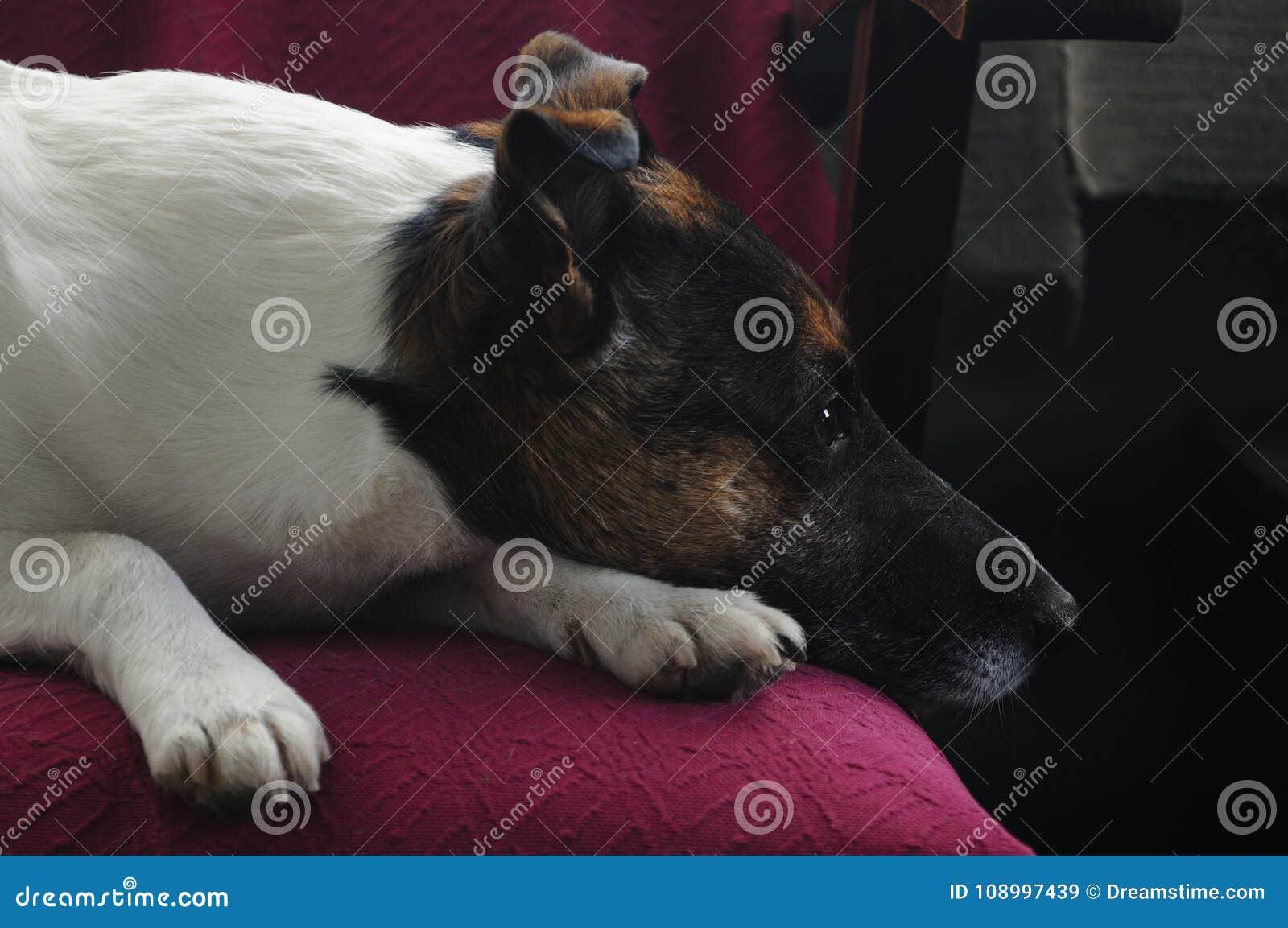 Ein Hund - Jack Russell Terrier, der seinen Eigentümer wartet