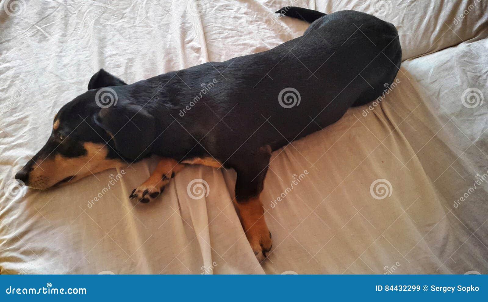 Ein Hund Liegt Lustig Auf Einem Bett Stockbild Bild Von Lustig