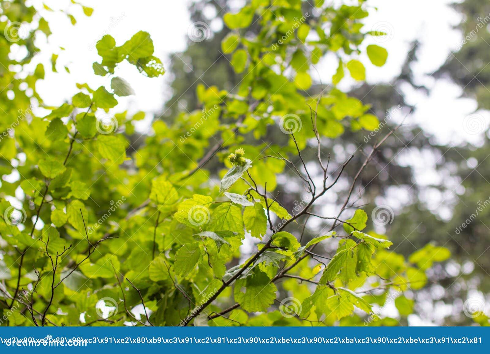 Ein junger Baum der Haselnuss