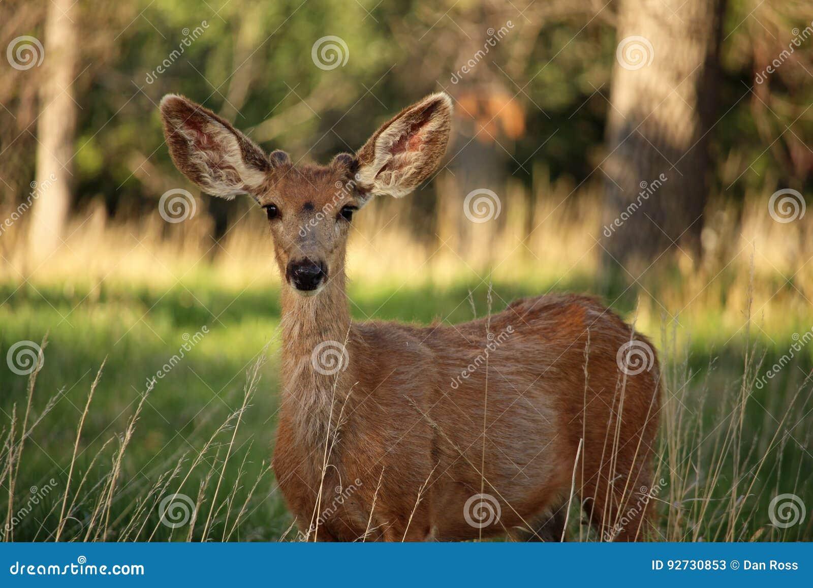 Ein junger Maultierhirschdollar hört sorgfältig mit den großen Ohren
