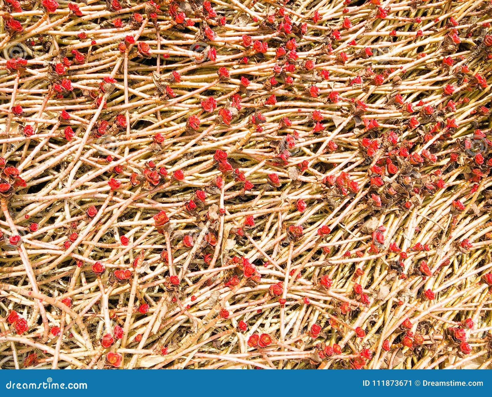 Ein junger roter Sprössling mit einem Bratenfetttautropfen ist auf der Grundnatur, Nahaufnahme Succulentblume