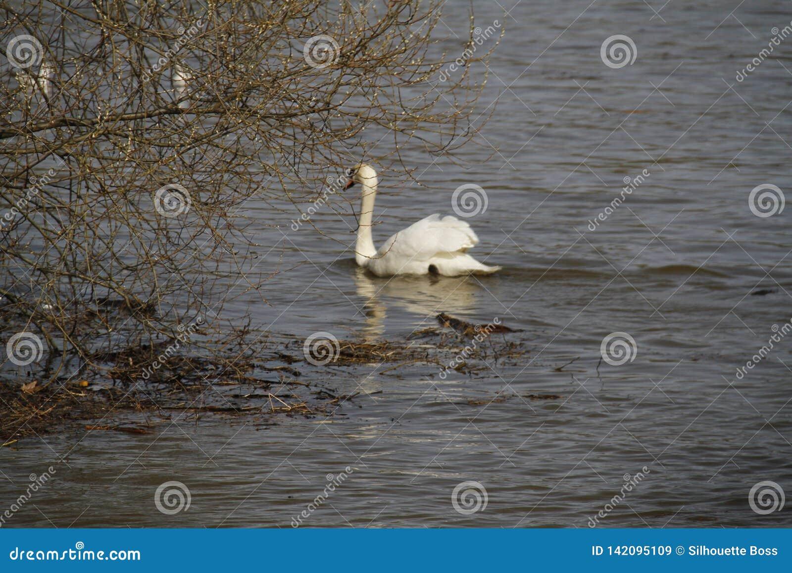Ein junger Schwan schwimmt ruhig auf dem Wasser