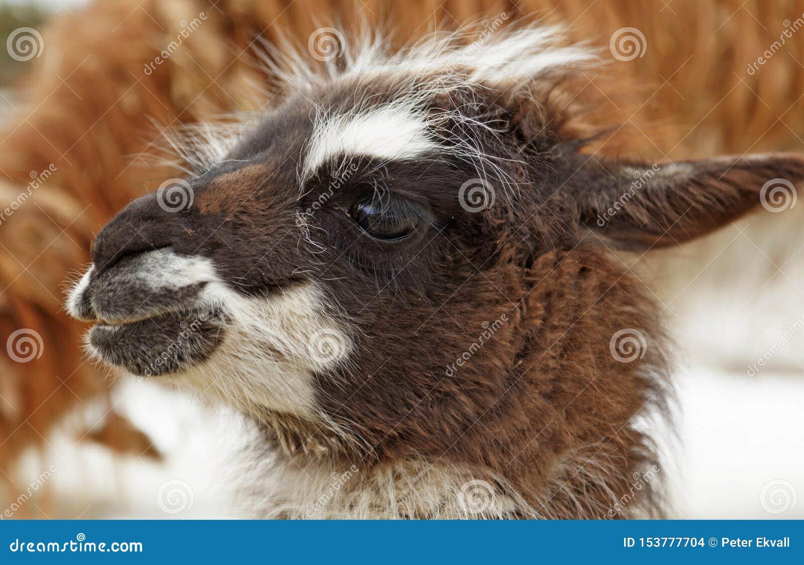 Ein junges Lama schaut herum draußen zum ersten Mal