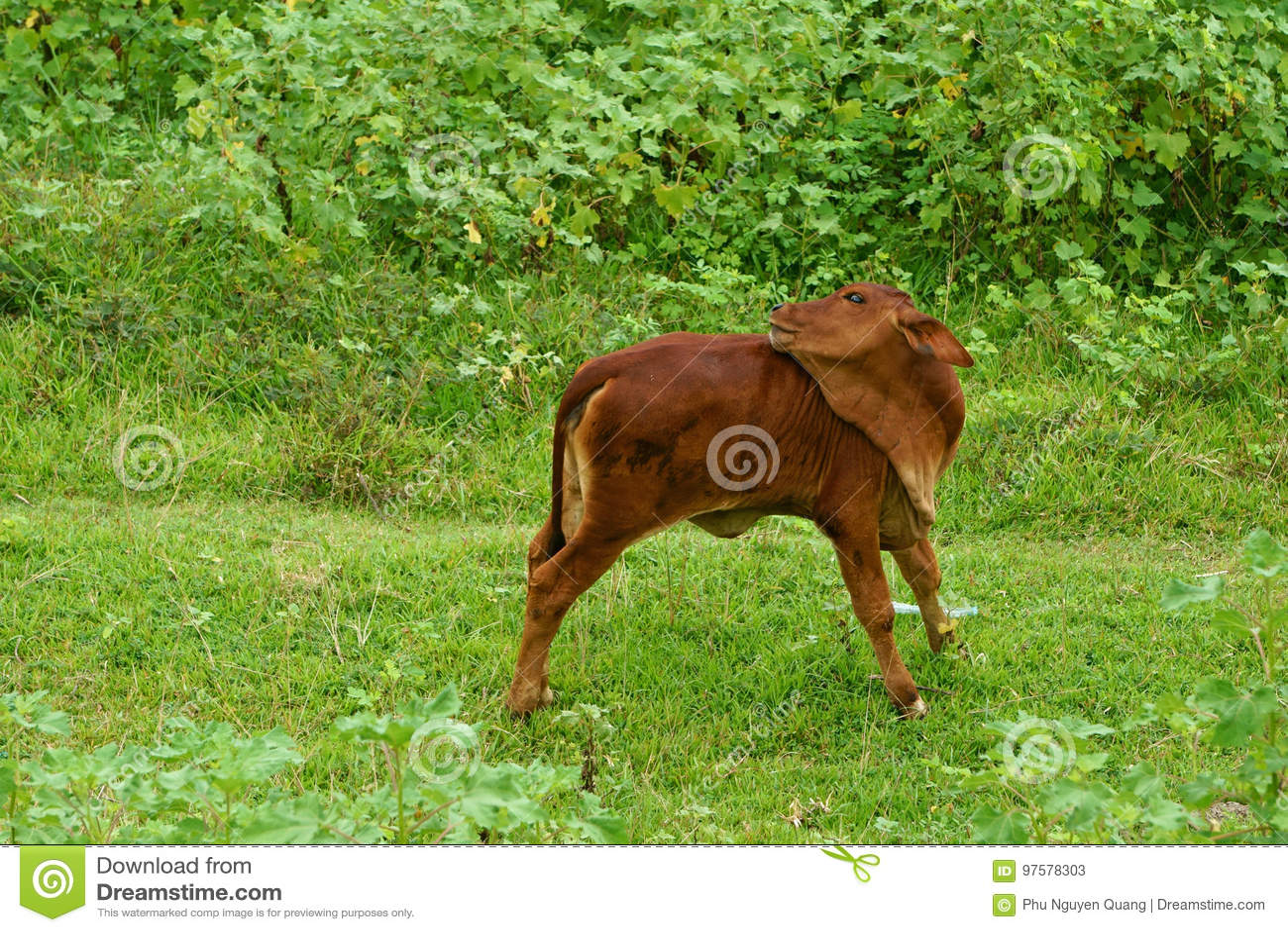 Ein Kalb wirft auf Rasen morgens auf