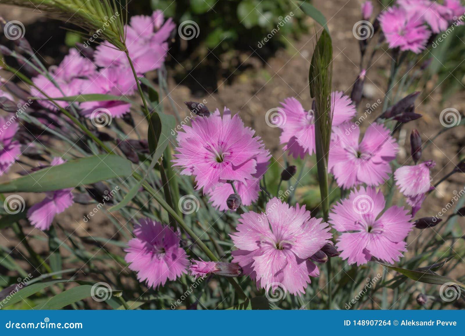 Ein kleiner Busch des bl?henden rosa Blumenwachsens in den Unkr?utern